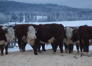 Backgrounded Feeder Steers For Sale