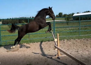 dutch warmblood hunter jumper prospect