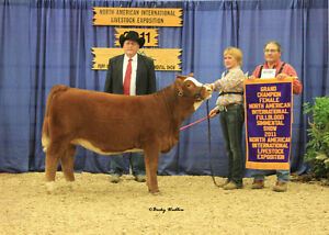 Registered simmental breeding stock.