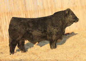 4 Red and Black Simmental bulls for sale