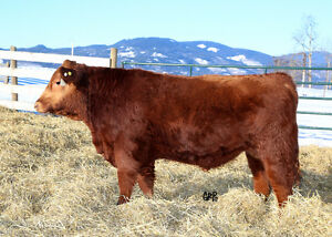 Purebred Red Angus Bull For Sale