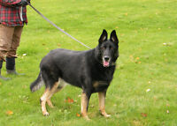 Adult female German Shepherds-NON REGISTERED