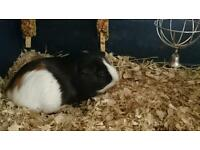 Guinea pigs x2 with cage