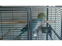 2 Male Quaker Parrots plus large cage