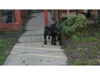 For sale black patterdale pups