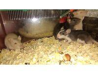 Rats (babies)
