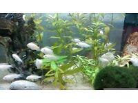 Albino Kribensis Cichlid (Pelvicachromis pulcher)