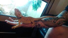 Beautiful bearded Dragon and vavarium