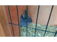 Rabbits and hutch for sale / rabbits free to good home