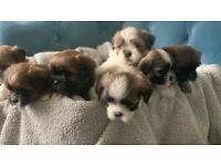 Full pedigree Lhasa Apso pups