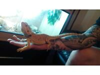 Bearded dragon including vivarium.