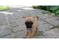 Girl chihuahua pup for sale