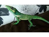 2 LIZARDS MALE AND FEMALE £30 FOR THE PAIR