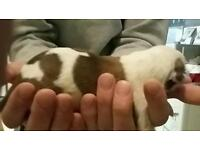 Whippet leacher x collie gray pups for sale
