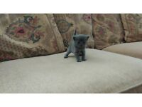 Stunning Pure breed Pedigree Russian Blue Kittens Grey Male & Female RESERVE NOW