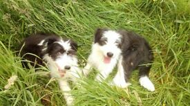 Two, beautiful Bearded Collie pups for sale