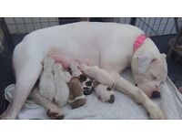 Skyes had her babies! American bulldogs