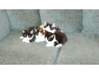 5 cute kittens for sale. £40 each