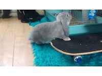 French Lop Rabbits 5 month old