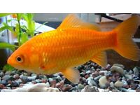Goldfish For Sale - Live - £2 each. Up to 60 available roughly 15cm long