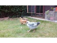 x2 Goldtop Chicks For Sale READY NOW