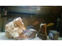 Malawi cichlids adults for sale