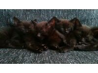 Kittens for sale £50