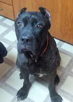 "Adult Male Dog - Cane Corso Mastiff: ""Chester"""