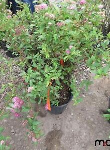 UNRESERVED! ONLINE AUCTION: Trees, Shrubs & Plants