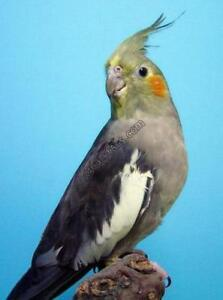 Lost Missing Family Pet - Bird (Orillia)  Cockatiel named Lilly