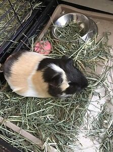 Pair of Guinea Pigs for sale