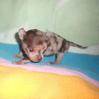 CHIHUAHUA   2  Sublime petite FEMELLE  1MERLE 1CHOCO A RESERVER