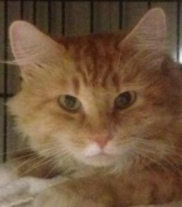 "Young Male Cat - Domestic Long Hair (Orange & White): ""Alamo"""