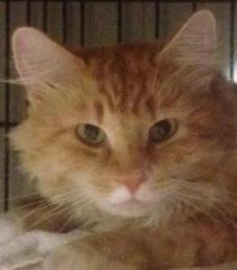 "Young Male Cat - Domestic Long Hair (Orange & White): ""Alamo"""