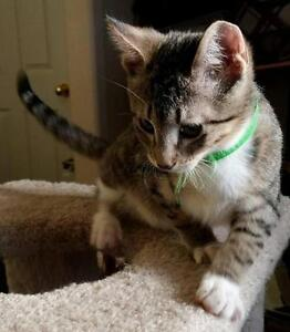 "Young Male Cat - Domestic Short Hair - gray and white: ""Chad"""