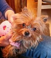 "Adult Female Dog - Yorkshire Terrier Yorkie: ""Twinkie"""