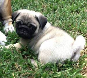 Pedigree Pug, Fawn Male for Sale Park Ridge South Logan Area Preview