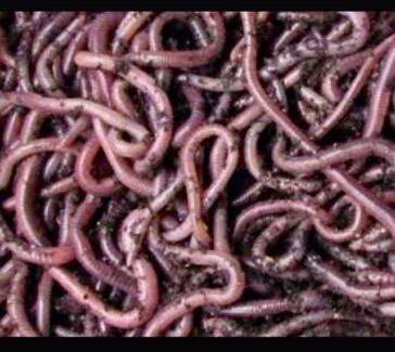 Compost worms African Night crawlers Buderim Maroochydore Area Preview