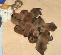 Quality litter of registered shiba inu pups