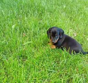 2 miniatures dachshund puppies for sale**sold**