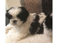 Shih tzu puppy for sale beautiful only one boy left