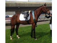 *REDUCED* Very Hansom 16hh sport horse