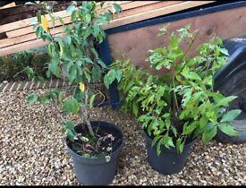 2 x bay tree plants
