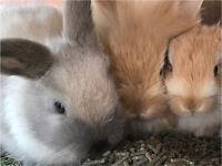 Baby Lion Head Rabbits x3