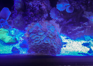 Green & Yellow Button Polyps Salt Water Coral