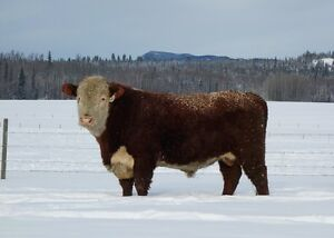 Registered Polled Hereford Bulls For Sale