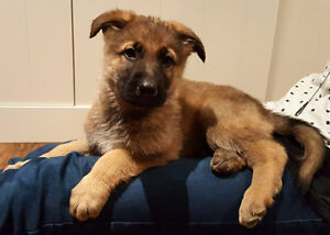 Purebred German Shepherd Puppies London Ontario image 6
