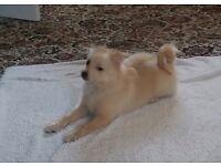 Pure Pomeranian puppy