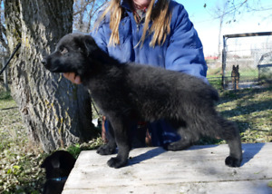 German Shepherd Pup MALE