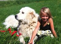 Great  Pyrenees to rehome
